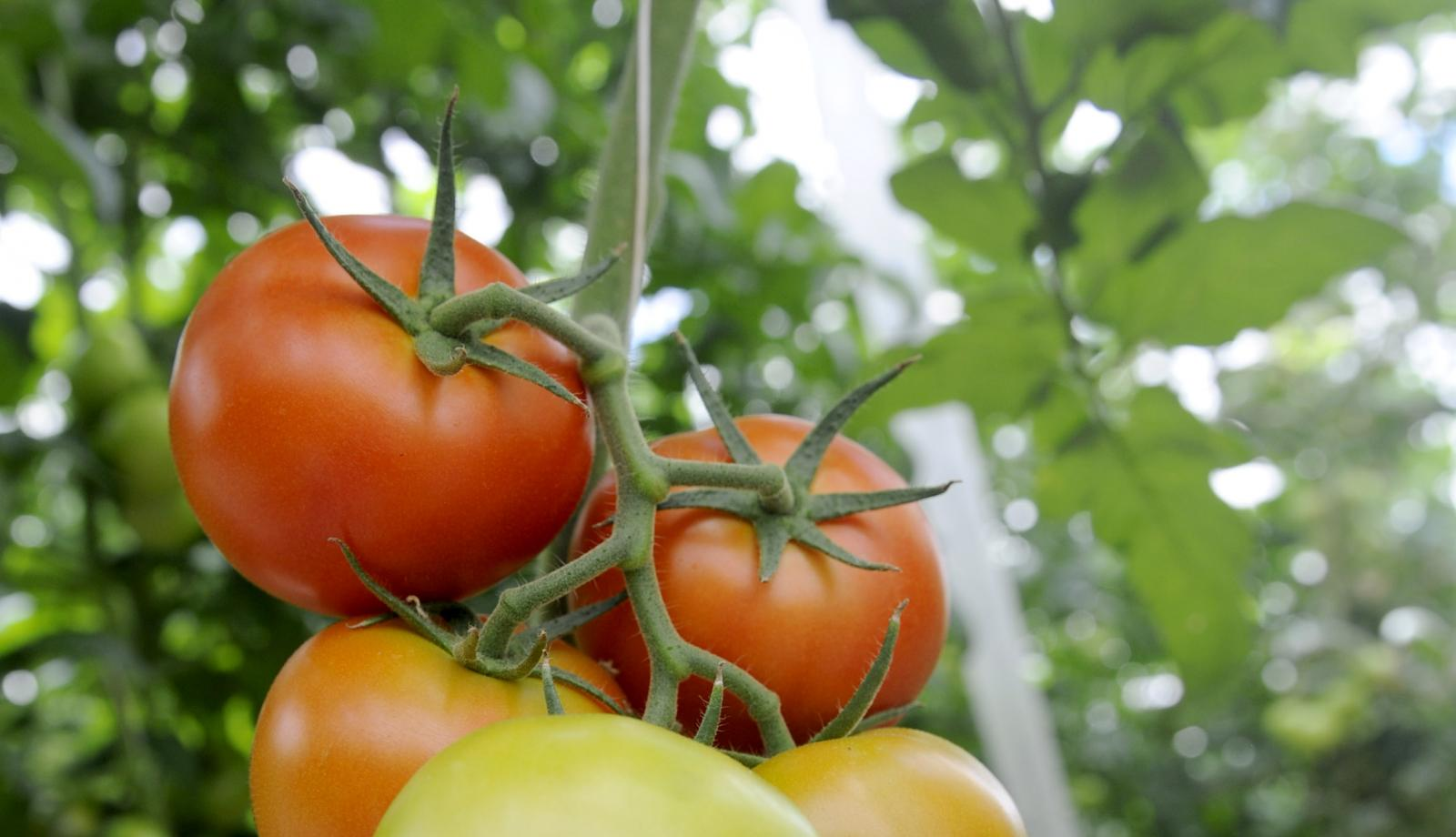 Report: Italian tomatoes unethical