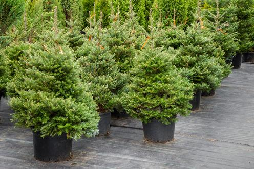 Growing revenue: how does the Christmas tree business stack up?