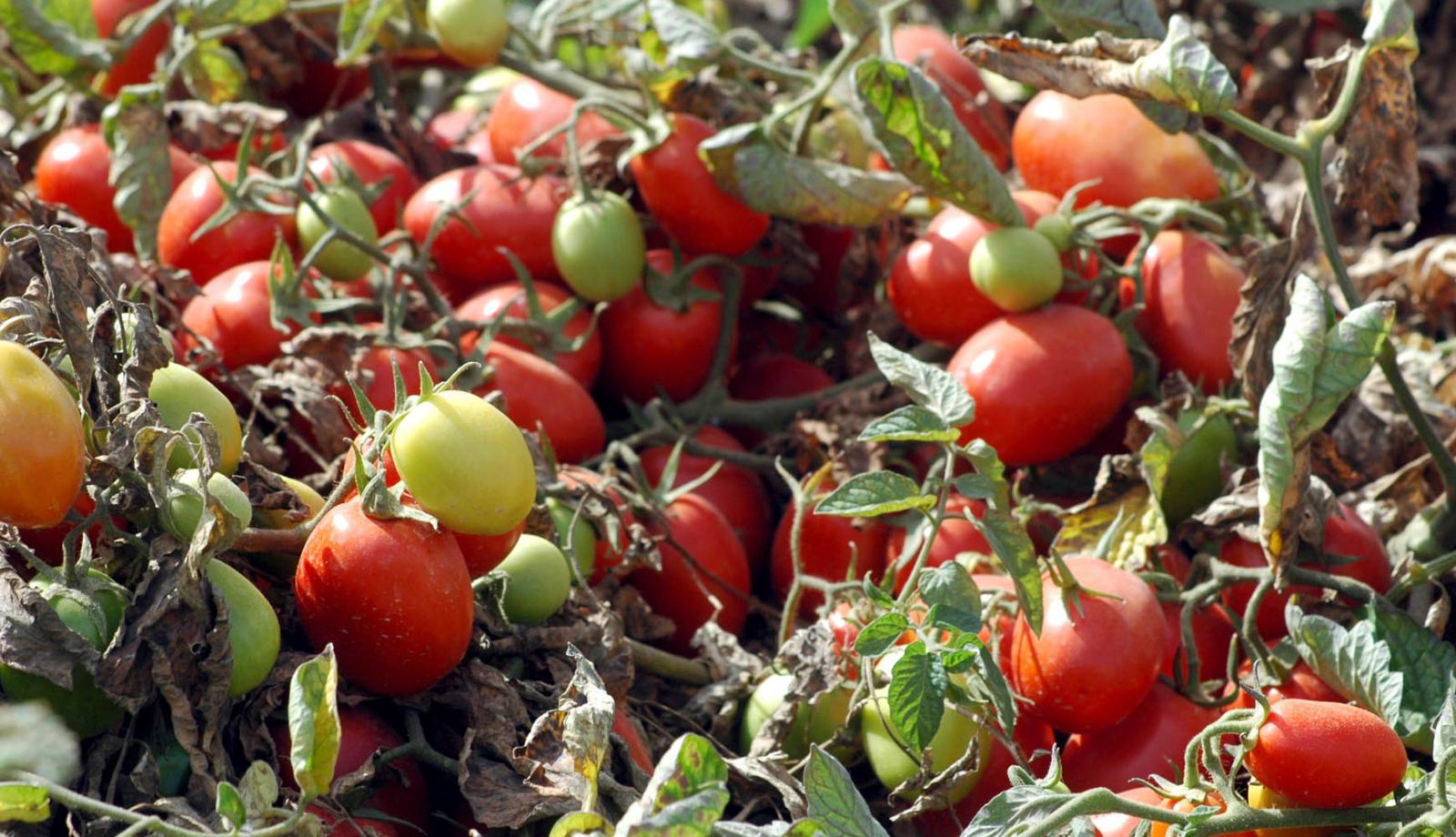 Tomatoes hit by cold snap