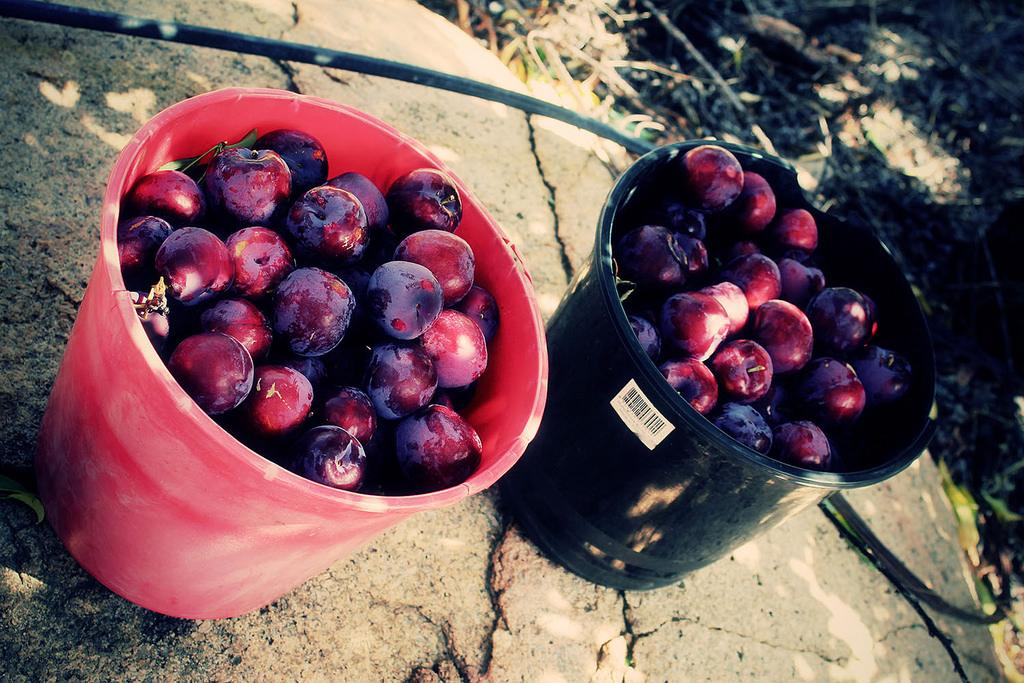 Backpackers enjoy fruit picking
