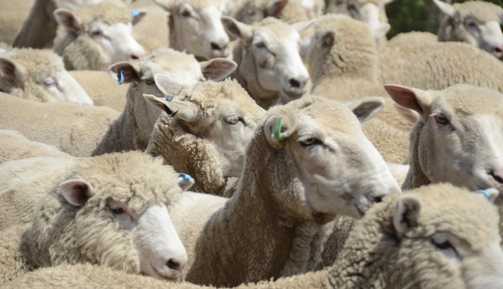 Calling for young sheep breeders
