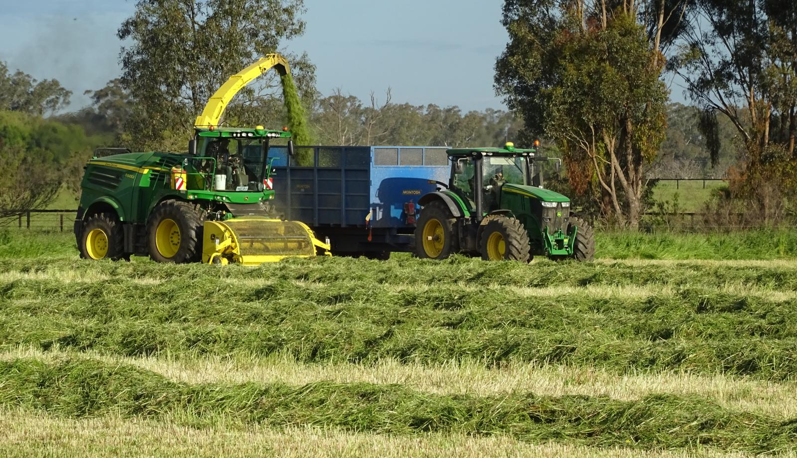 Silage time: food for cows, food for dogs.
