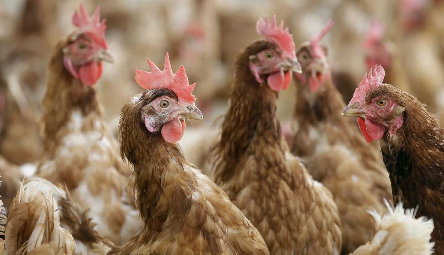 Poultry review receives praise and criticism