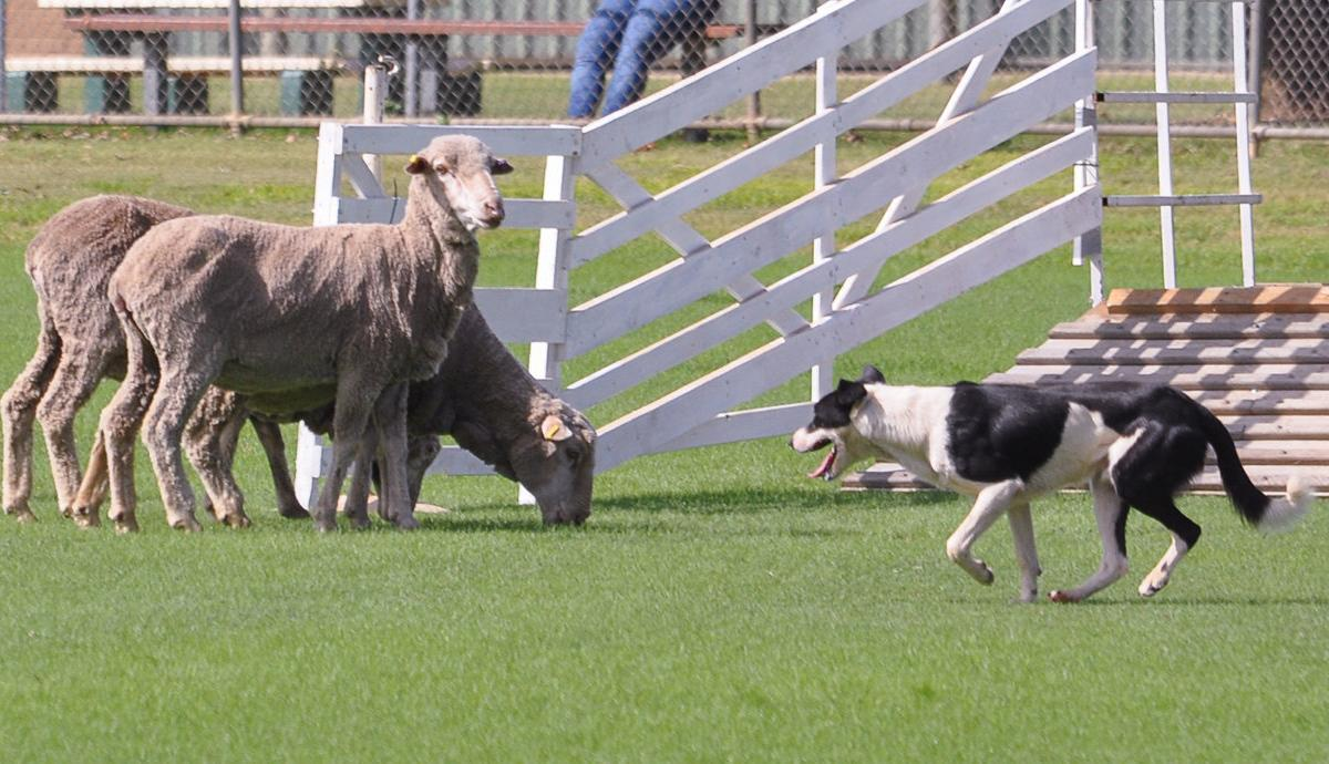Seymour hosts dog trials