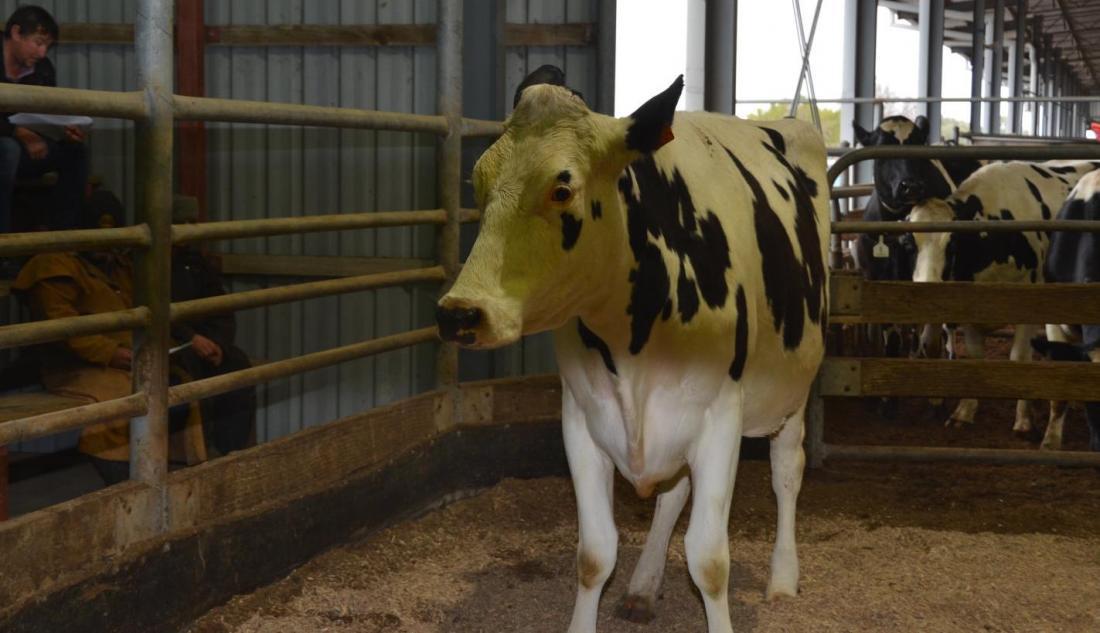 Manks heifer sells for $2900
