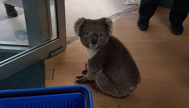 Koala pays visit to local pharmacy