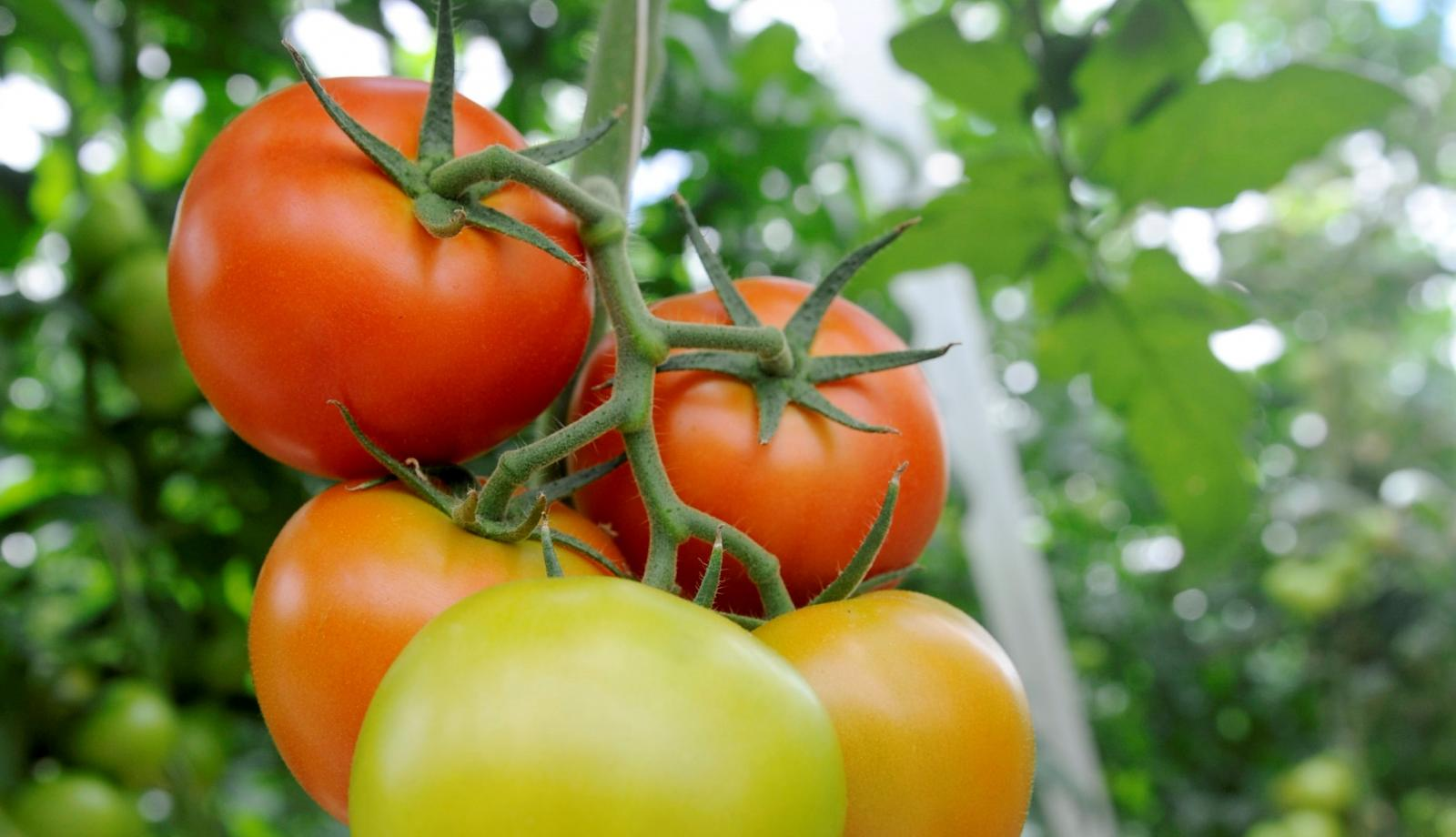 Retractable roof aids Lancaster tomato growers