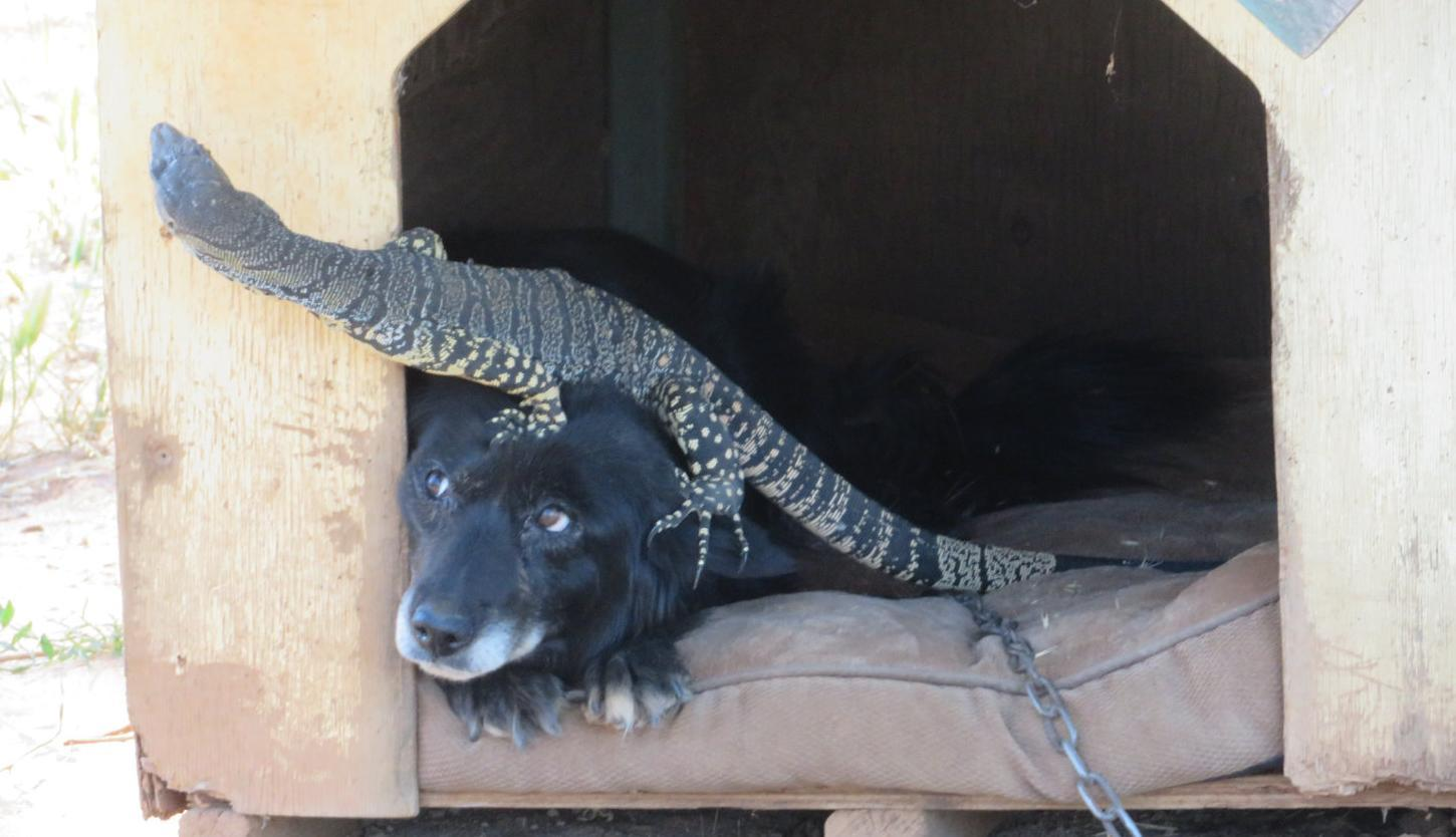 Dog and goanna the best of friends