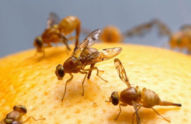 Cash to tackle fruit fly