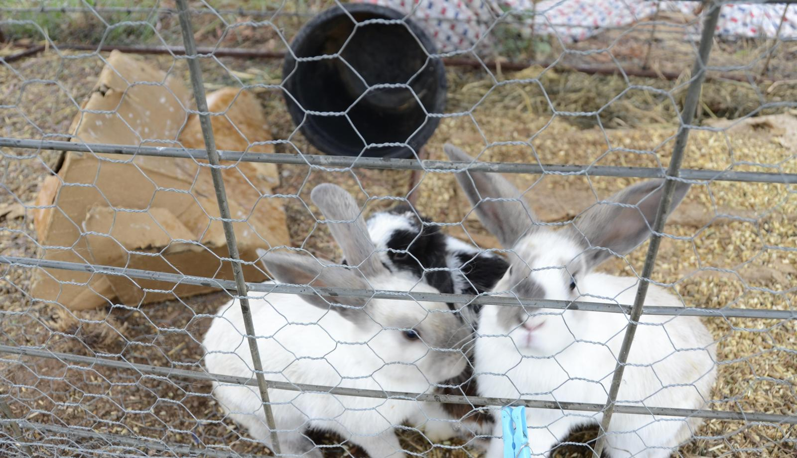 Vaccinate to protect rabbits