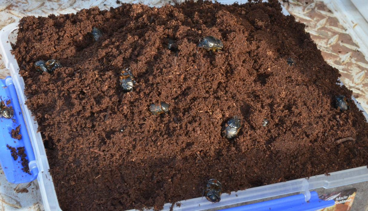 Beetles get busy burying cow dung