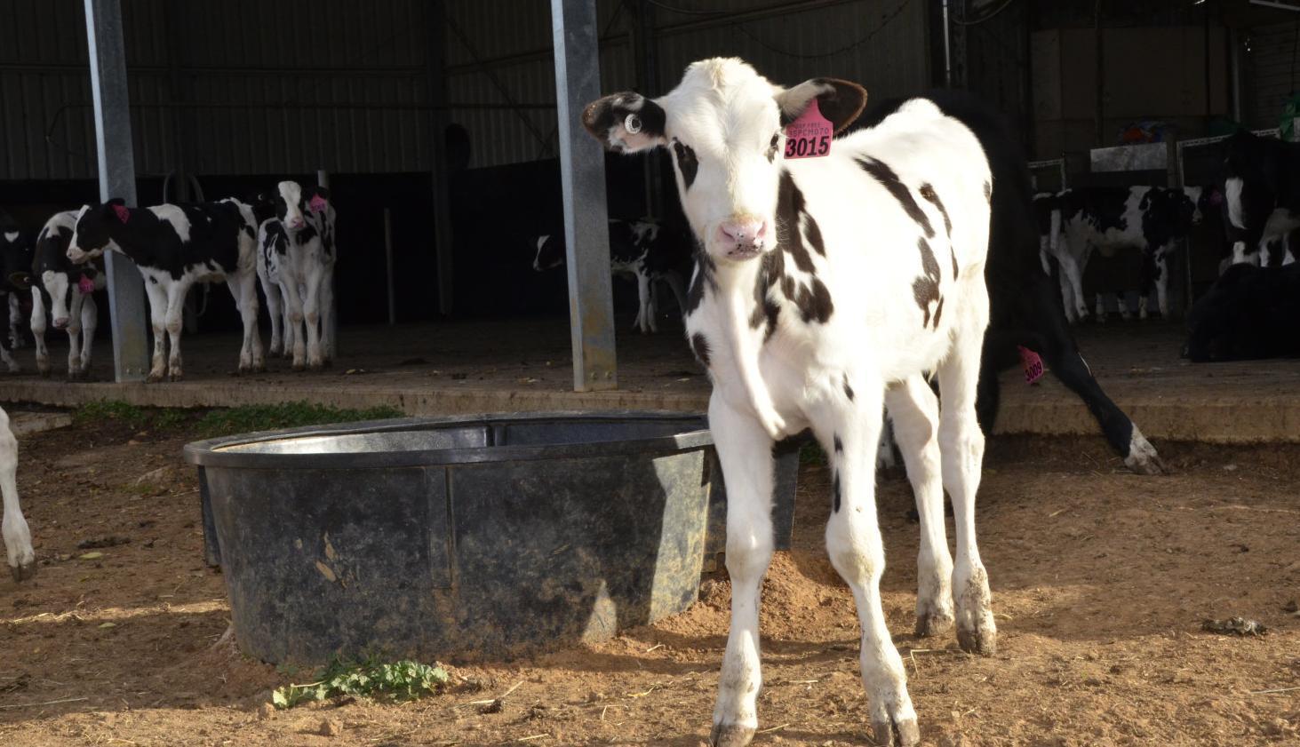 Choosing the right calf housing