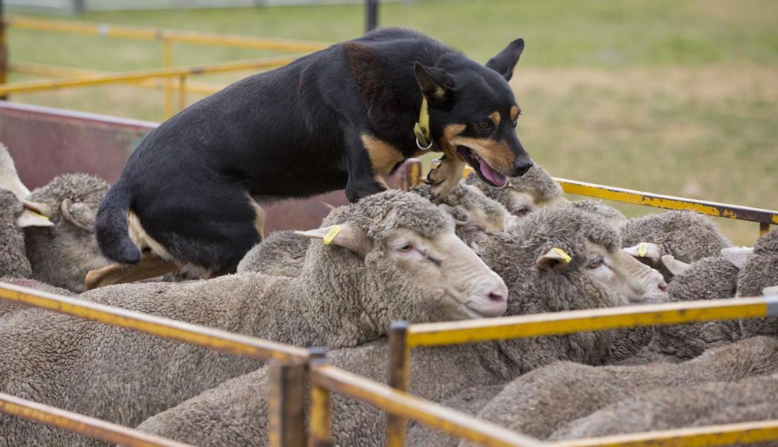 Crowds flock to sheep show