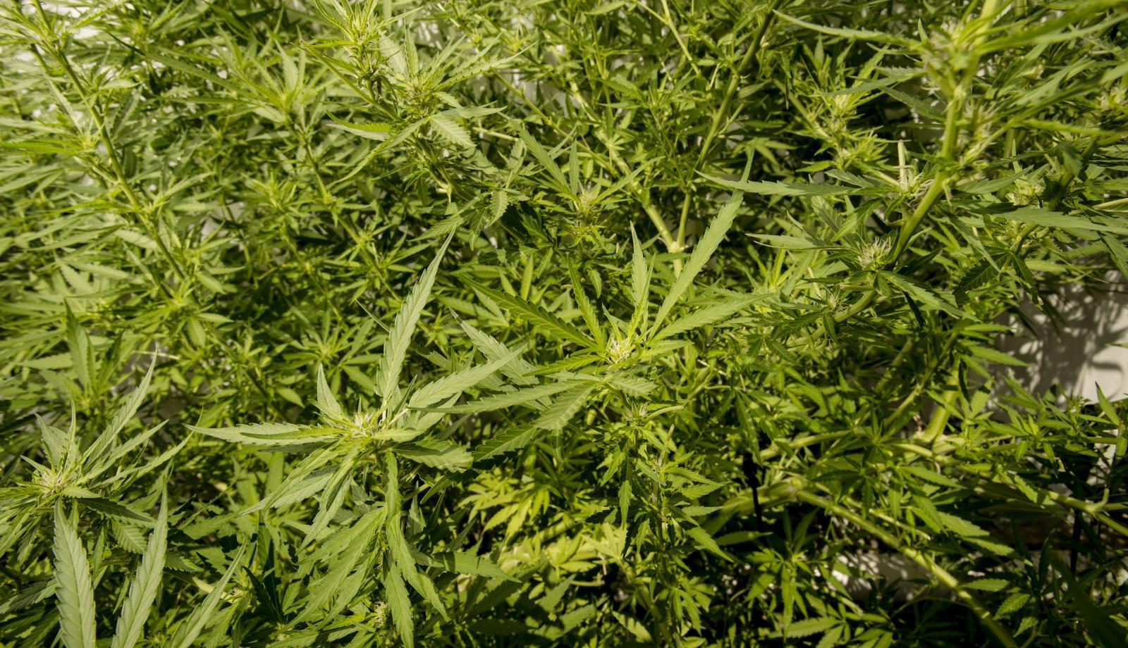 Cannabis company named