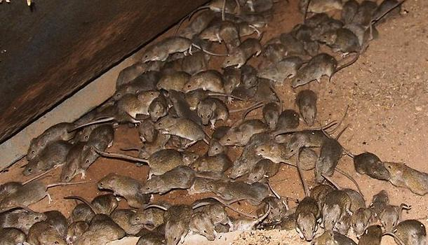 Mouse plague may be coming