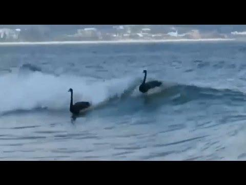 A real black swan event!