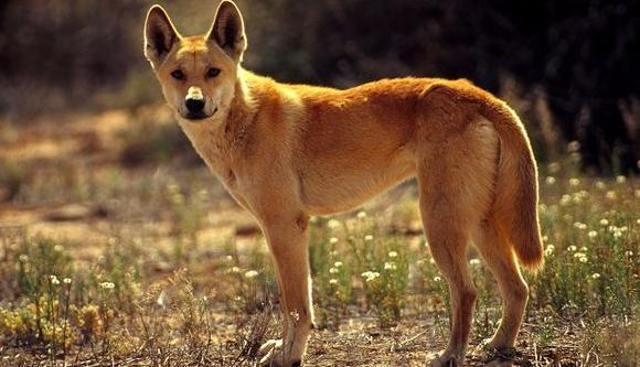 Dingo plan welcomed