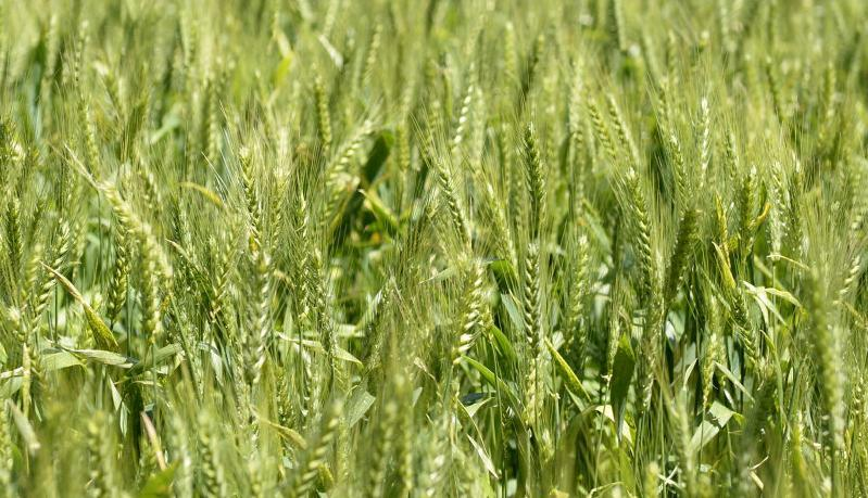 Wheat prices to rise