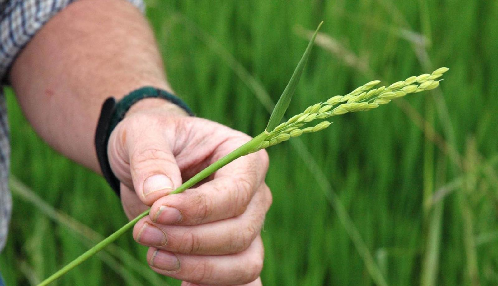 Rice research to be showcased