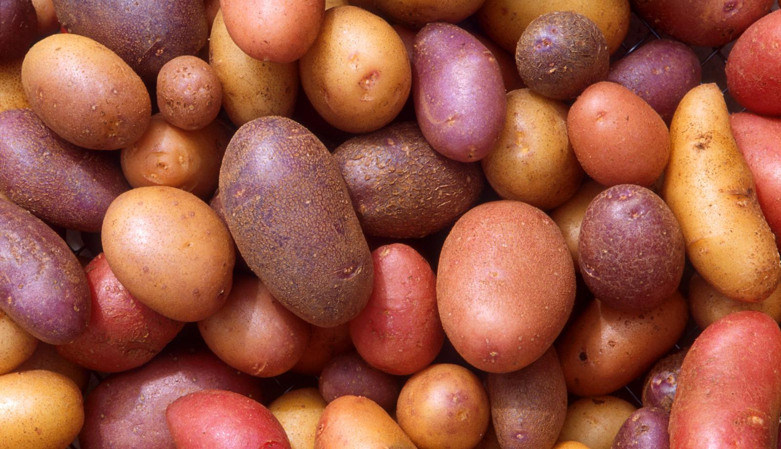 Potato pest found
