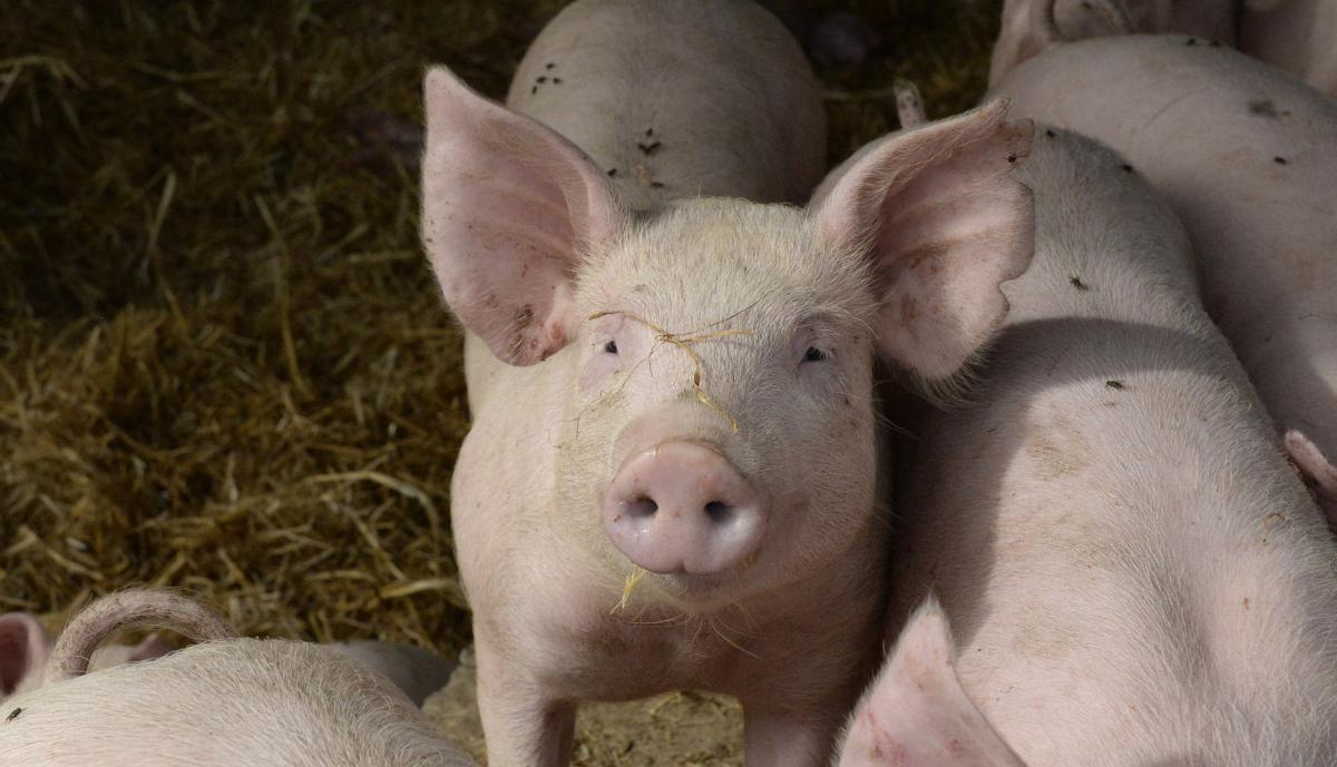Costs hurting pork industry
