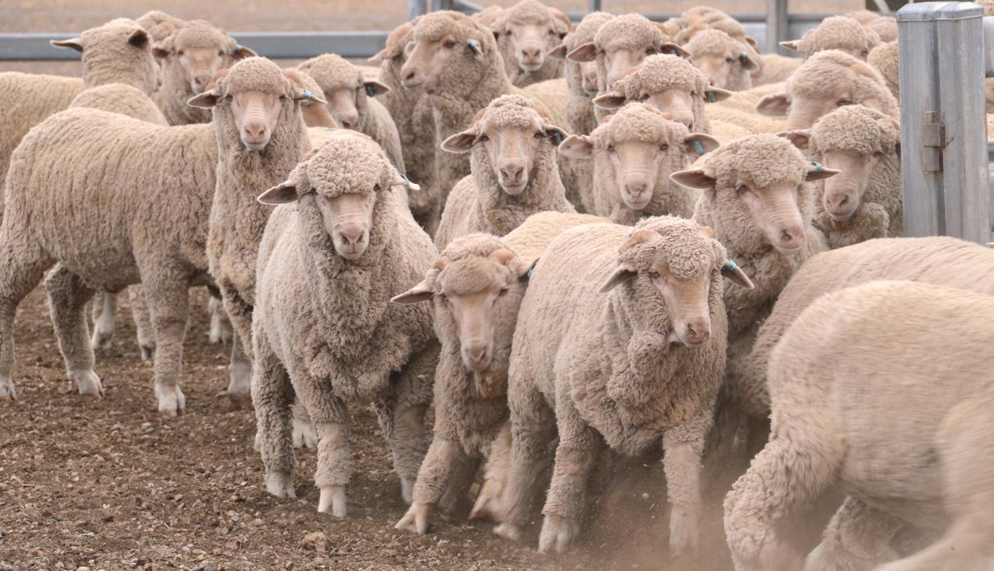 Project finds fewer sheep getting OJD
