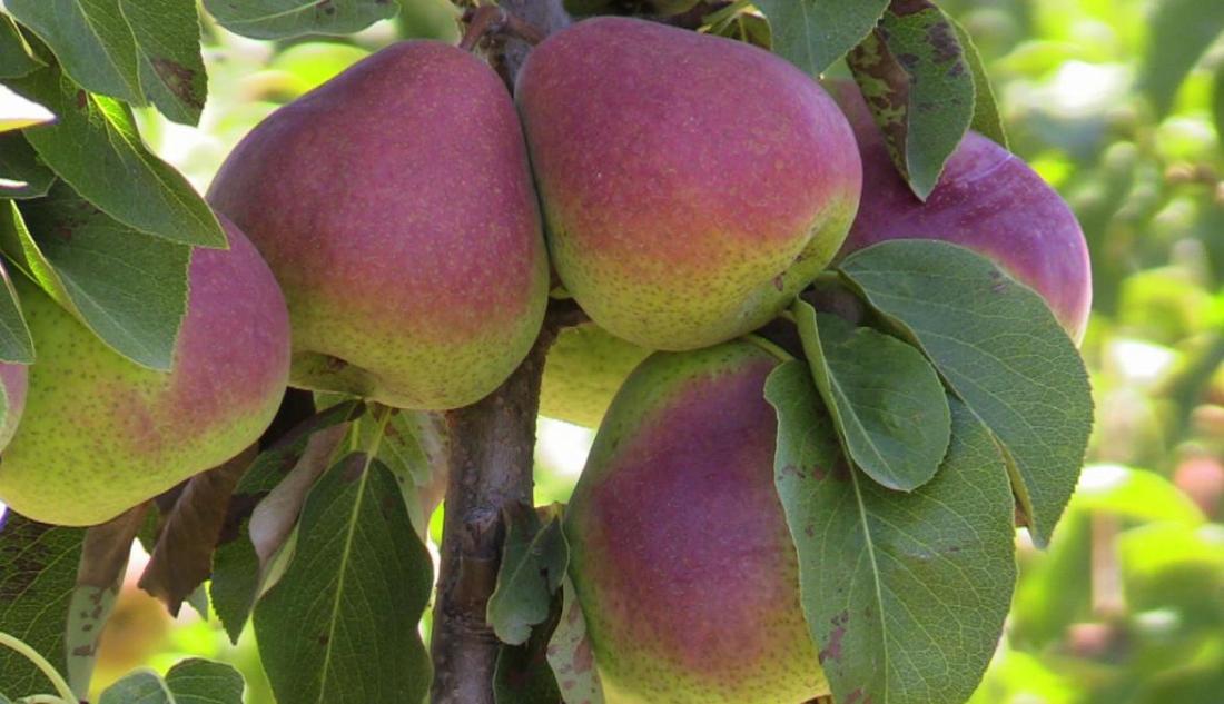 Better fruit sought