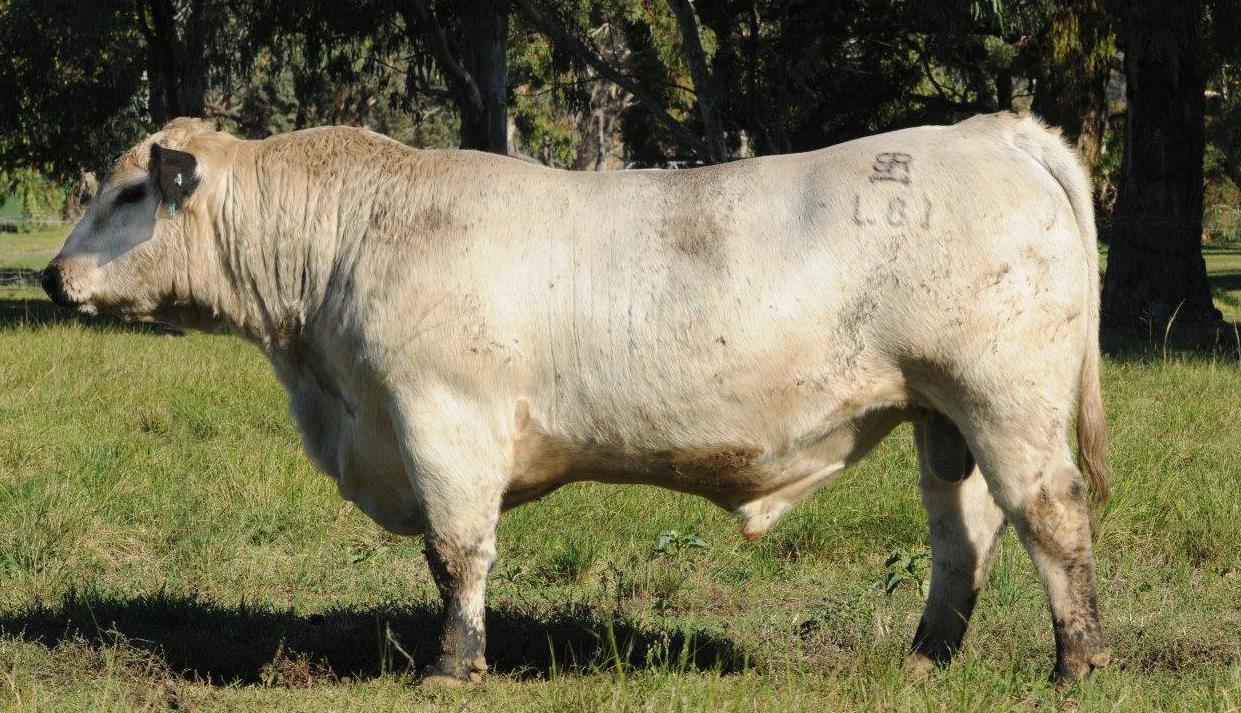 Bull record set