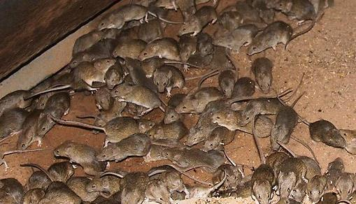 Limit food to reduce mice