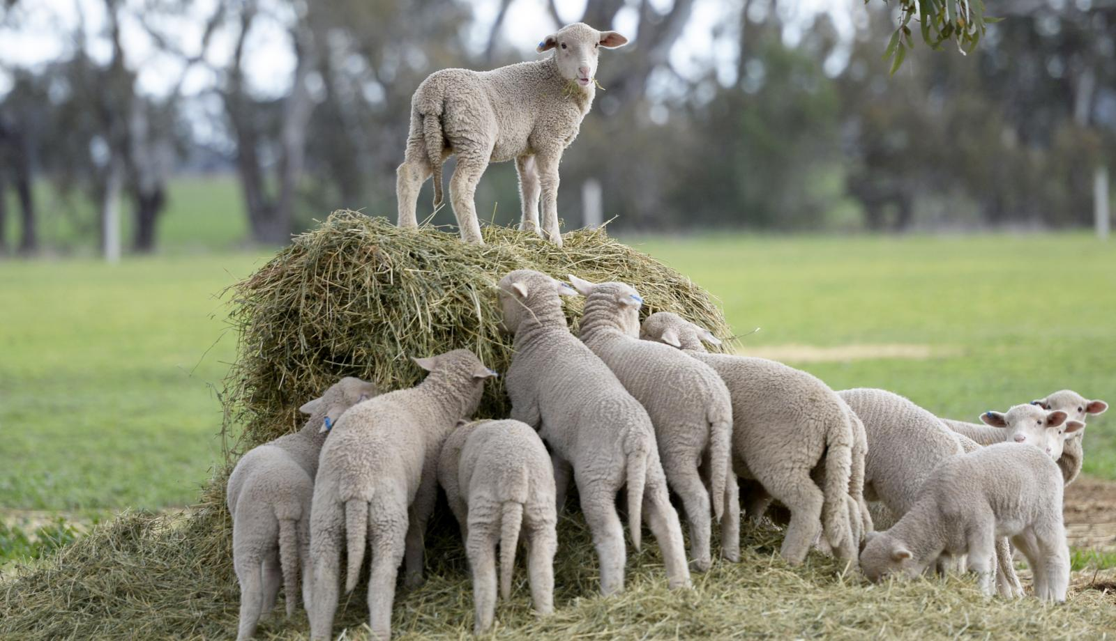 Shepparton to host charity lamb sale