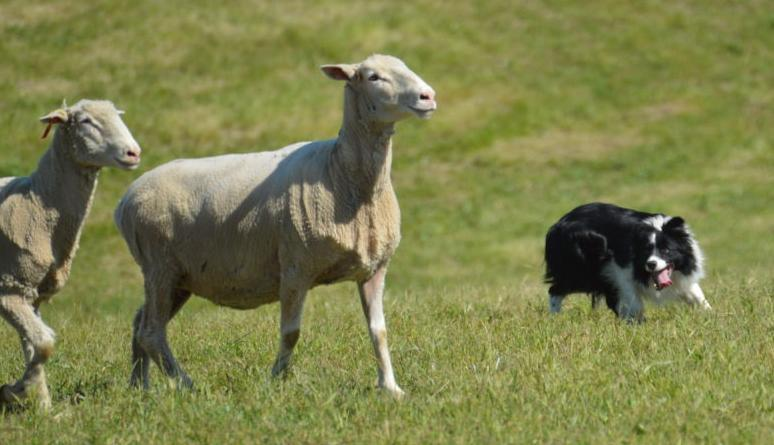 Fierce competition at dog trials