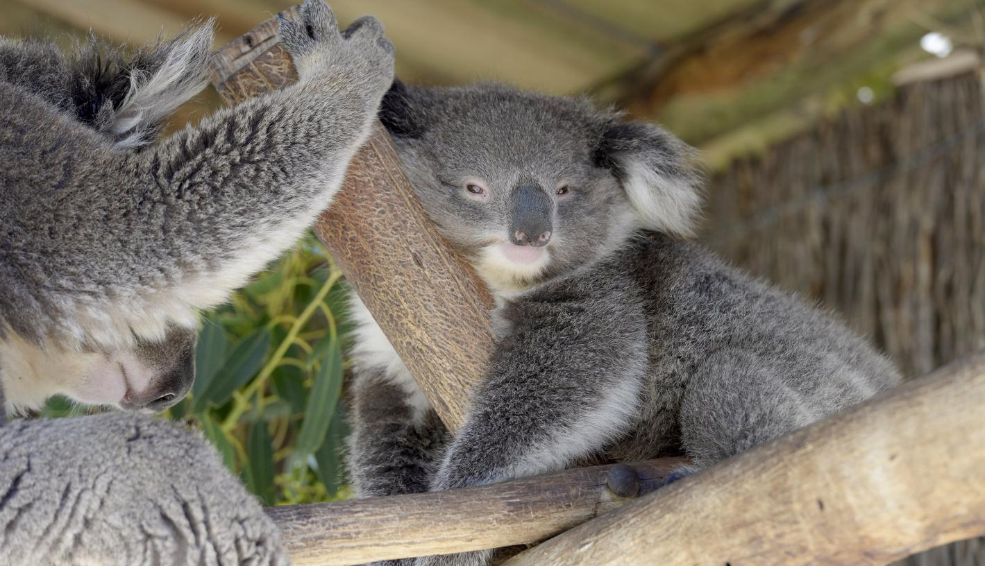 Parasites key to koala illness