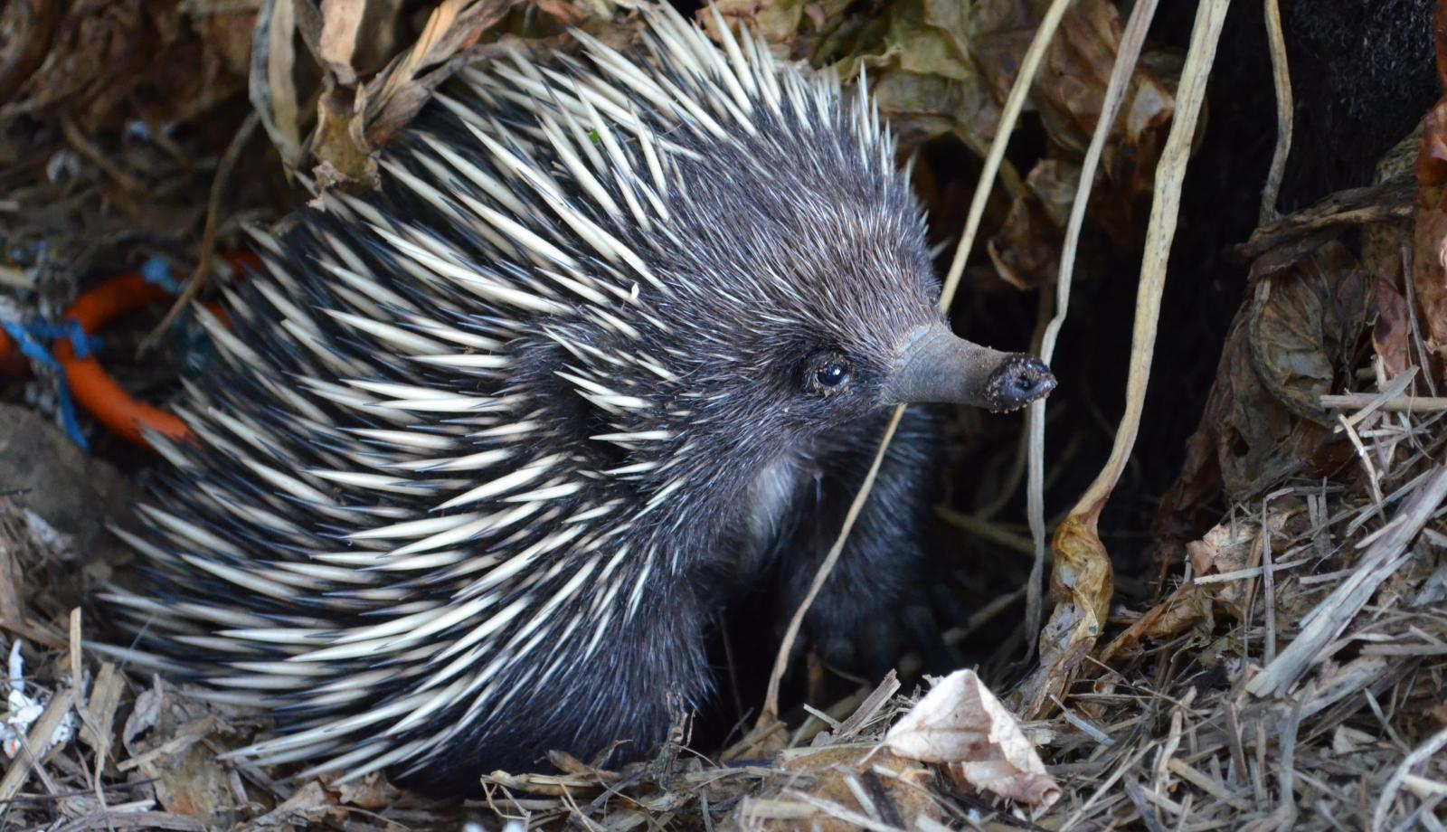 Echidnas studied