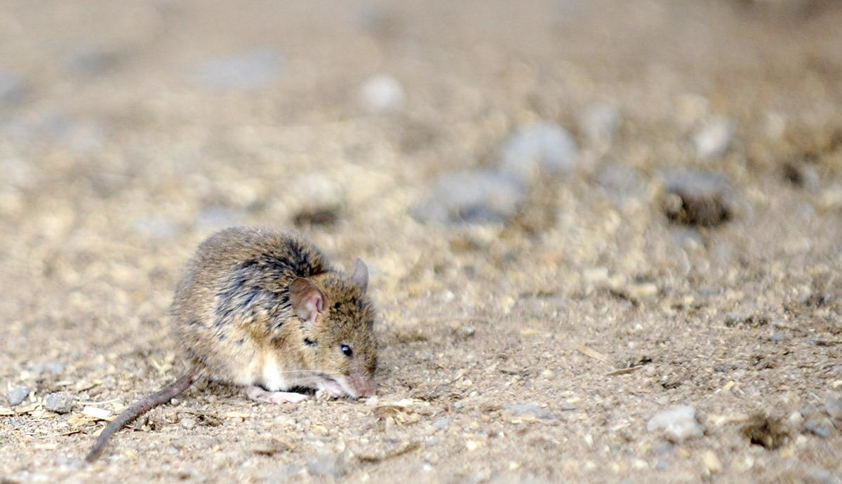 Mice are hurting crops