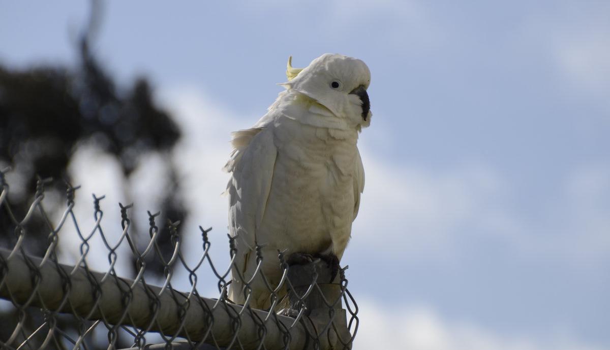 Bird calls key to flock drop