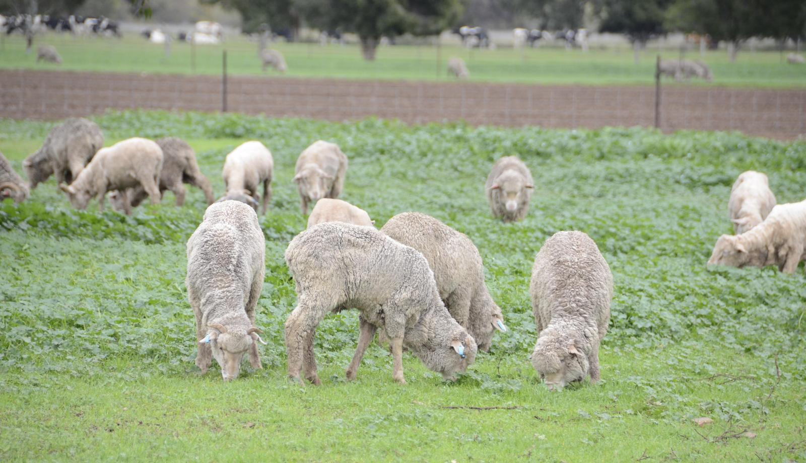 Record lamb prices tipped