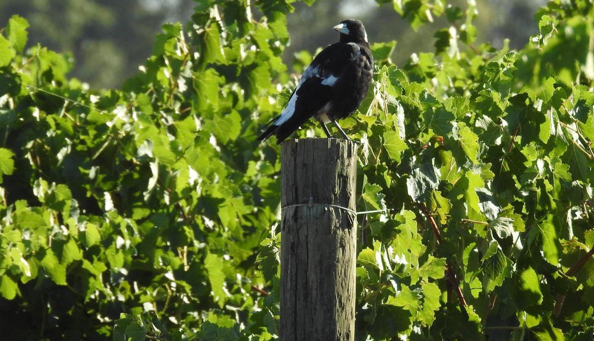 New twist on bird threat to orchards