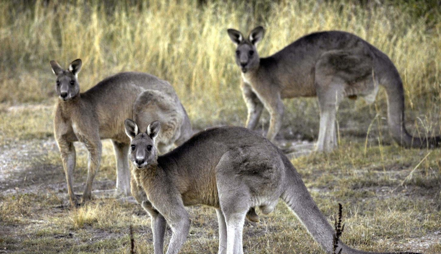 Call for 'roos as pet food