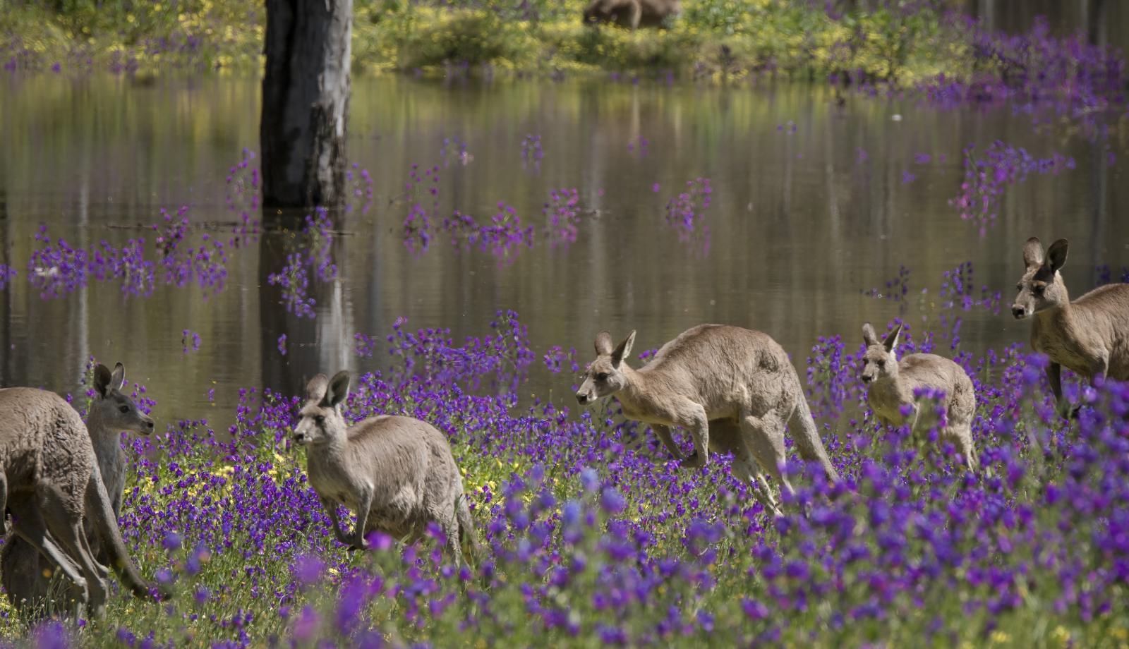 Kangaroo meat industry suggested