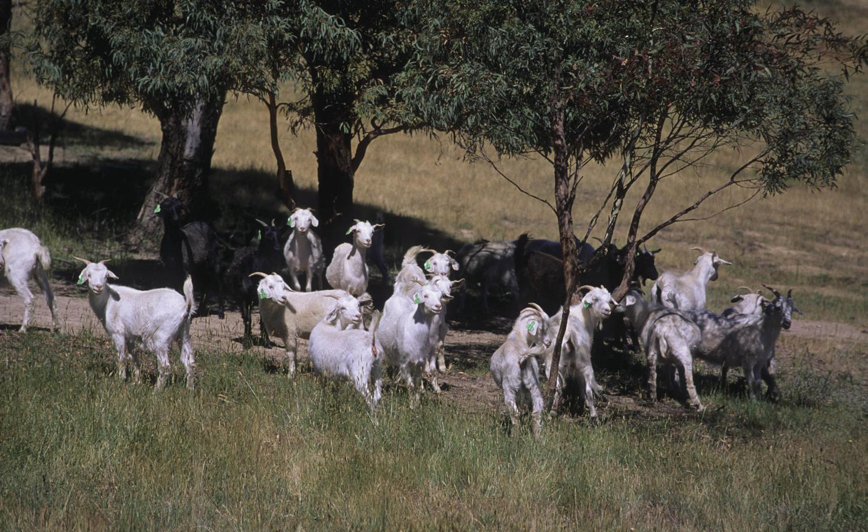 Goat figures fall