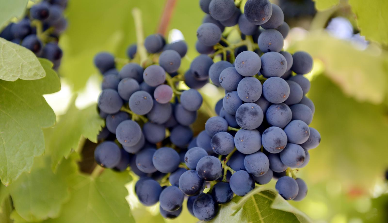 China thirst grows wine export